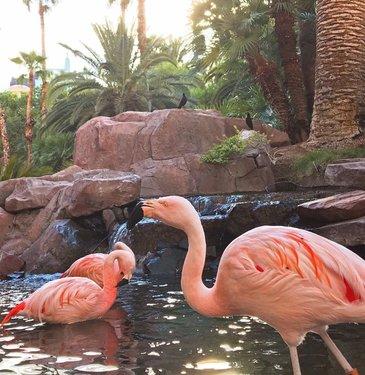 Black Jack and her flock keeping cool in the pool under a #Vegas sunset. 🦩 #WildlifeHabitat #4EverFabulous