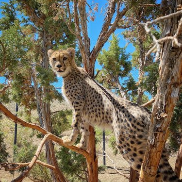 What's cuter than a cheetah in a tree?  Unlike most cats, cheetahs are not good tree climbers although they do like to get up high to search for prey. Except for Amani - Amani wants to be a leopard when he grows up!  #animalark