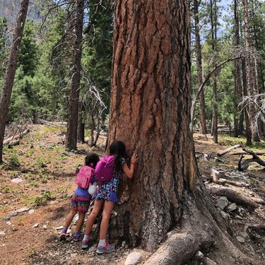 #FunFactFriday: Did you know that ponderosa pines are known to smell like vanilla and butterscotch? Scientists believe that this sweet scent comes from a chemical in the sap, that when heated by the sun releases the aroma. Next time you find yourself hiking through these towering trees, try it out for yourself! Follow your nose to find a #ponderosa, or look for the trees with the thick reddish bark and long pine needles. A tree that has been exposed to the sun will have the strongest scent.  ⛰Find details on fire restrictions and what is or isn't open at our #linkinbio