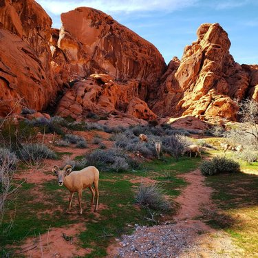 Nothing to see here...just a little munchin' and brunchin' in Valley of Fire 🔥🔥🔥 . . . . #desertbighornsheep #bighornsheep #valleyoffire #valleyoffirestatepark #nevada #travelnevada #explorenevada #dfmi #dontfencemein #getoutside #goexplore #optoutside #thegreatoutdoors #exploremore #adventuremore #wanderlust #nature #naturephotography #landscape #landscapephotography #photography #travelphotography #travel #travelusa #roadtrip #roadtripusa #roadtripping #usatravel #travellife #locationindependent