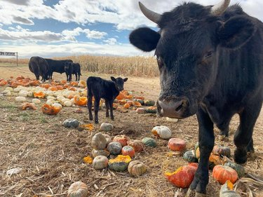 Pumpkin party for the cows! 🎃#leftovers #pumpkins #cows #pumpkinsnack #nothinggoestowaste