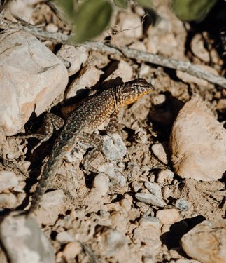 Its easy to get distracted by the mega fauna. The larger mammals and birds that inhabit the desert/low alpine. But, there's a plentiful amount of reptiles that are ripe for photography as well. Its kind of like the whole