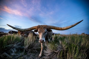 Meet Mister. The sweetest longhorn you'll ever meet! Haven's Ranch in Winnemucca has such gorgeous longhorns and a stunning wedding venue for your outdoor wedding!