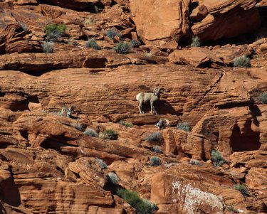 Can you count all the rams in this photo? Had I not seen a silhouette moving along the topmost rock, I would never have seen this bachelor group moving along the rock face.⁣ ⁣ #bighornsheep #desertwildlife #desertbighorn #bighornrams #wildsheep #natgeowild #nanpapix #naturephotography #naturematters #natureconservation #usfws #dfmi #naturelovers #wildlifephotography #valleyoffirestatepark #valleyoffiresheep #nevadastateparks #nevadawildlife #friendsofnevadawilderness #adventure #valleyoffire #wildlifeseekers #conservation #nature #wildlife #wildanimals #nevadabighorns #optoutside #yourshotphotographer #natgeoyourshot⁣ nanpapix natgeowild friendsofnvwild nevadawildlife usfws valley.of.fire nevadacameraclub naturalnevada nature_org natgeoyourshot