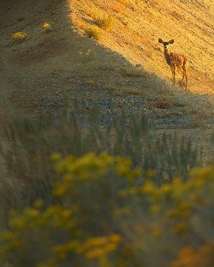 The sun rises capturing a mule deer in it's glow in Virginia City. #virginiacitynv #nevadawildlife #minetailings #miningtown #smalltownusa #muledeer #sunrisephotography #wildlifephotography #canonphotography #travelnevada #renotahoeterritory #sunrise #rabbitbrush #sunglow