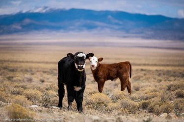 Wild & Free  Mini Moo's running around playing chase.  #cattle. #babies. #play. #Desert. #wild and free. #beef. #nature. #conservation  #nevada. travelnevada  only_in_nevada  _fujilove_