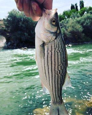 #nevada #nevadadesert #fish #fishinglife #wiper #bassfishing #bass #nature #naturephotography