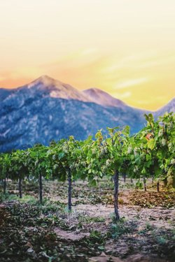 Raise a glass to these Minden-grown grapes, which grow up to be Basin and Range Cellars wines. 🍇🍷😍  Wanna shop small with more #MadeInNevada businesses like this one? Start here: https://t.co/hmQYU4sfZ6 🛍️ #TravelNevada #HomeMeansNevada https://t.co/ujl1kgrIRQ