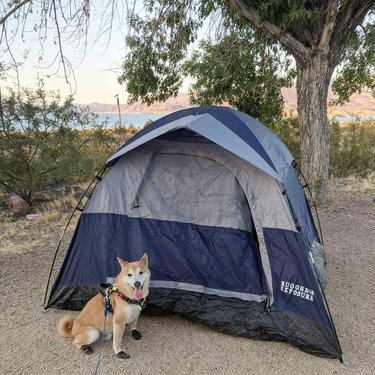 Who put up a tent in less than 10 minutes without thumbs? *THIS GUY* 😅 ⛺🏕️ . . . #camping #shibainu #shibasofinstagram #nevada #nevadadesert #lakemead #boulderbeachcampground #tent #outdoorlife #nature #vacationmode #summervibes #summer #roadtrip #driving #sand #cactus #doge