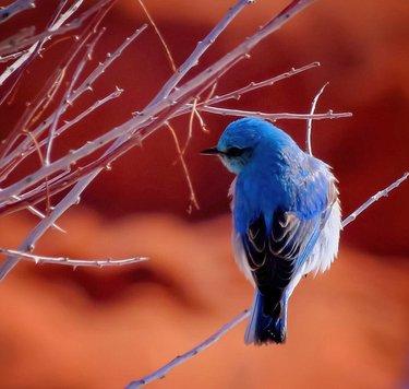 Mountain Bluebird, taken last winter at Red Rock Canyon.  #bird #birds #redrockcanyon #bluebird #birdsofinstagram #nevada #ndowok #naturalnevada #onlyinnv #travelnevada #birdfreaks #raw_birds #best_birds_of_ig #color #wildlifephotography #wildlife #canonphotography #canon #canonusa #nature #naturephotography #naturegeek #naturelover #waycoolshots #audobonsociety #photography #bird_brilliance