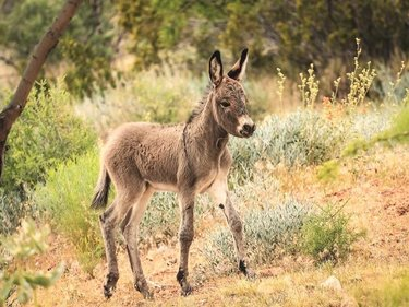 We have started seeing some of the first foals of the year! Let's take a minute to talk about burro etiquette. Never approach or try to feed them- becoming used to humans and eating our food can be horrible for burros. Follow the speed limits and put down phones while driving- careless/distracted drivers hit burros every year. Keep your dog on a handheld leash- a kick to the head or body can be deadly. Credits : springmountainranch 😗 #nevadasale #nevadacityca #travelnevada #discoverworld #lovetravels #mustdotravels