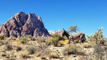 Surprise! Burro. ❤  #desertscrumbies #burro #homemeansnevada #dfmi #travelnevada #explorenevada #outdoornevada #nevada #nvstateparks #nvadventure #springmountainranch #springmountainranchstatepark #burros #donkey #optoutside #outdoors #publiclands #springmountains #fallinthedesert #autumninthedesert