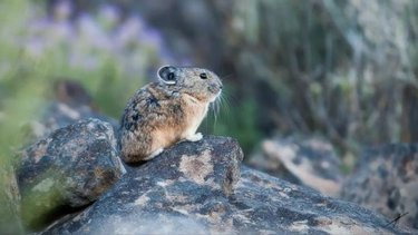 Endangered Species Week:  The Pika is imperiled but not on the #endangered list. Thanks to scientists, conservationists, communities for their work to protect it. See pikas in NE Nevada and the West via @TravelNevada #climate  @RockyMtWild @WildForGood https://t.co/QoDqhoc87Y https://t.co/168jkuQc90