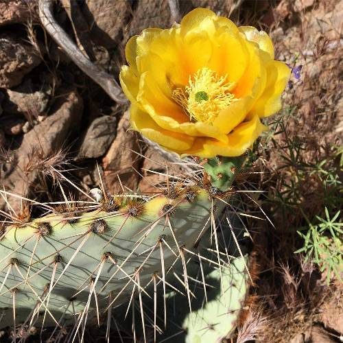 #hoguehikes #nofilters #cactus #cacti #nature #naturephotography #yellow #flowers #flower #beauty #beautyiseverywhere #mothernature #desert #arizona #cavecreek #tontonationalforest #pricklypearcactus #pricklypear