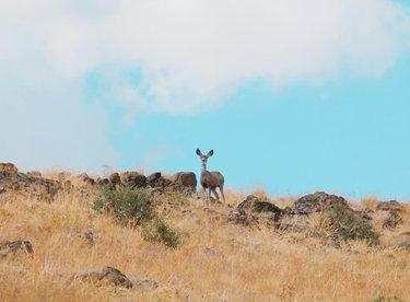 Curious little Bambi 🦌 #wildlife #travelnevada