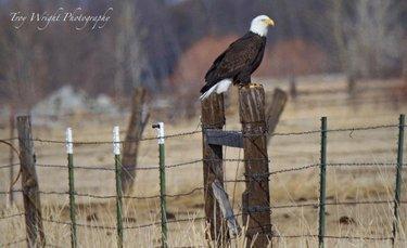 Are you coming to #CarsonValleyNV to see the #baldeagles during #EaglesAndAg? 📸 : Troy Wright  #whyCV #MyCarsonValley #DFMI #CarsonValley #easternsierra #hwy395 #baldeaglesofinstagram #birdsofprey #Baldealges #travelNEvada #travlegram #travelholic