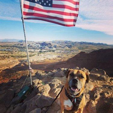 Lake Las Vegas Overlook Trail! Very pretty and fun hike! #lakelasvegas #boxer #boxersofinstagram #hike #boxermix #boxerdog
