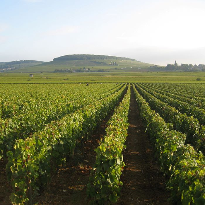 photo of vineyard under clear blue skies