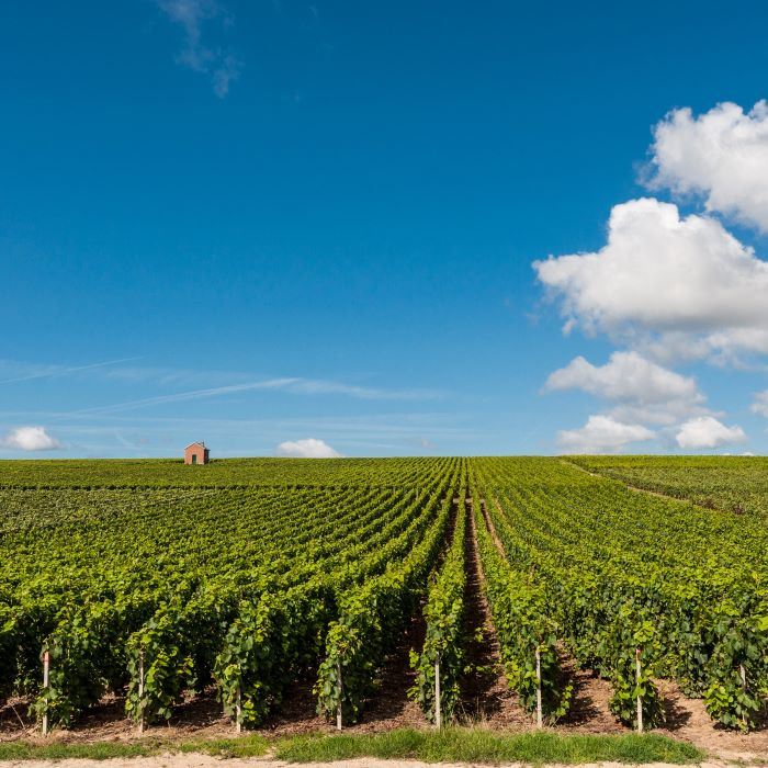 photo of vineyard, with rows of green vines,  Clear blue skies with clouds on the right side.  Small brown house in the middle of the vines on the left side