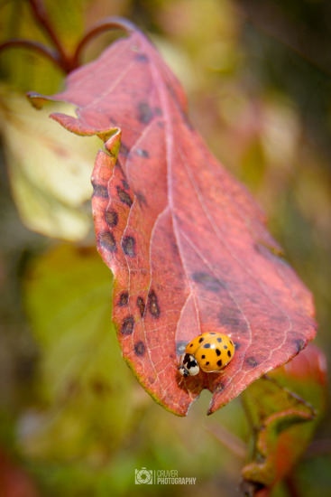 Asian Beetle on a early autumn leaf