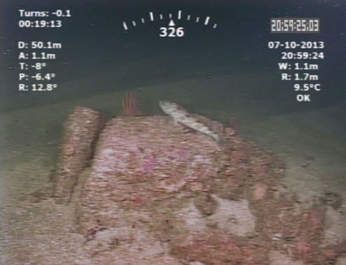 Screenshot from ROV video showing a lingcod resting on a coral encrusted rock