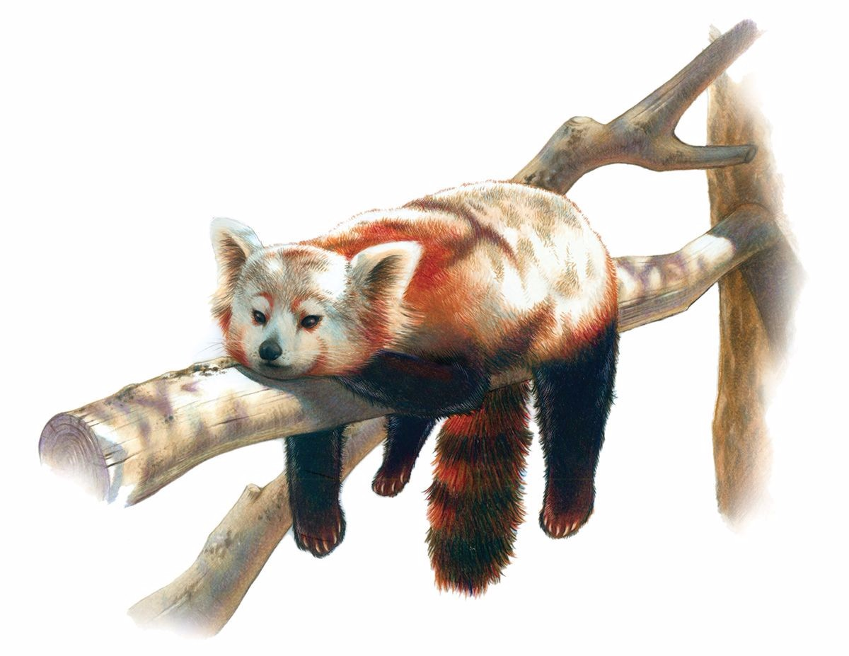 Red Panda by Mary Williams