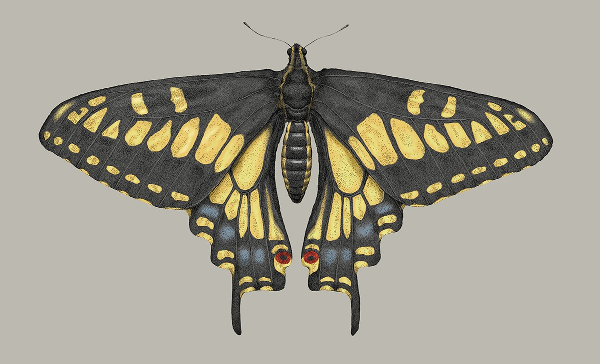 Swallowtail Butterfly by Lindsey Kernodle