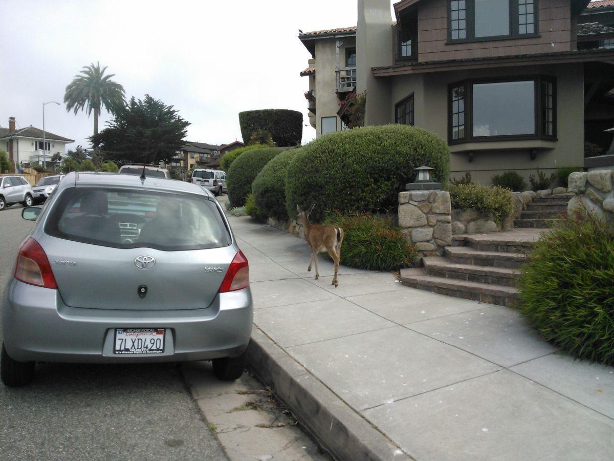Wildlife in urban habitat in Monterey, CA