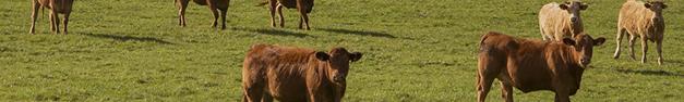 Cows-400