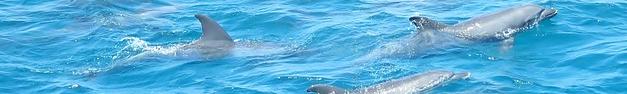 Dolphin-275