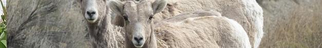 Goats-380