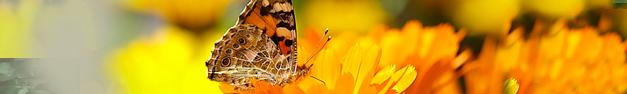 Butterfly-133