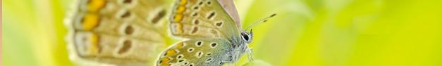 Butterfly-135