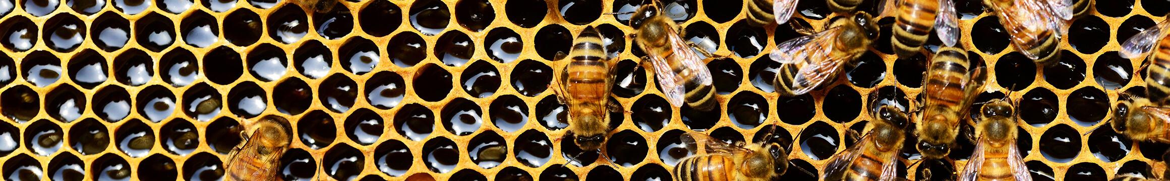 Honeybee 01