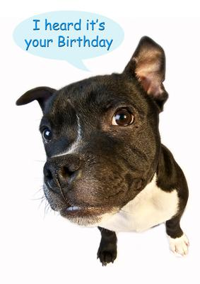 A4 Staffordshire Bull Terrier Birthday Card Cup47664 443