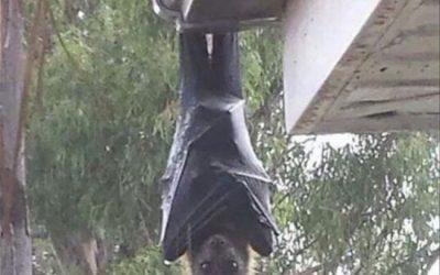 ¿Existen los murciélagos gigantes como se ve en Internet? ¿Real o Falso?