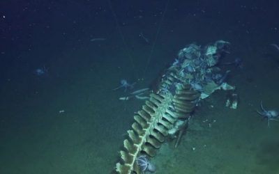 El esqueleto de una ballena atrae a extrañas criaturas marinas en abismo profundo (Video)