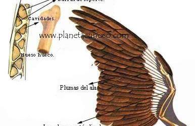 ¿Sabías que los huesos de las aves son huecos con cavidades llenas de aire?
