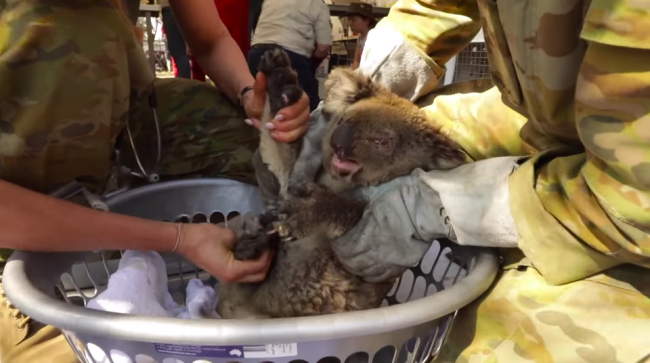 Abren hospital improvisado para salvar a koalas quemados por los incendios de Australia