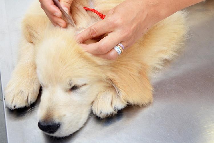 Identifying Ticks Vs Skin Tags On Dogs Cuteness