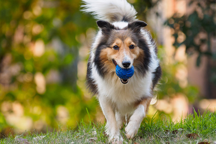 Shelties vs  Collies | Cuteness