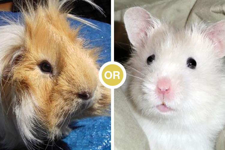 Should I Get a Hamster or a Guinea Pig? | Cuteness