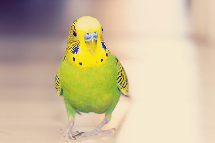 The Quietest Pet Birds   Cuteness
