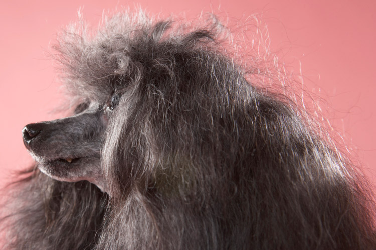 What Causes Premature Gray Hair in Dogs? | Cuteness