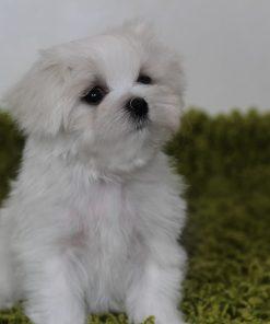 Puppy Maltesse 1