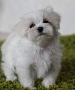 Puppy Maltesse 2