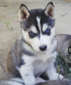 Siberian Husky Puppy 4