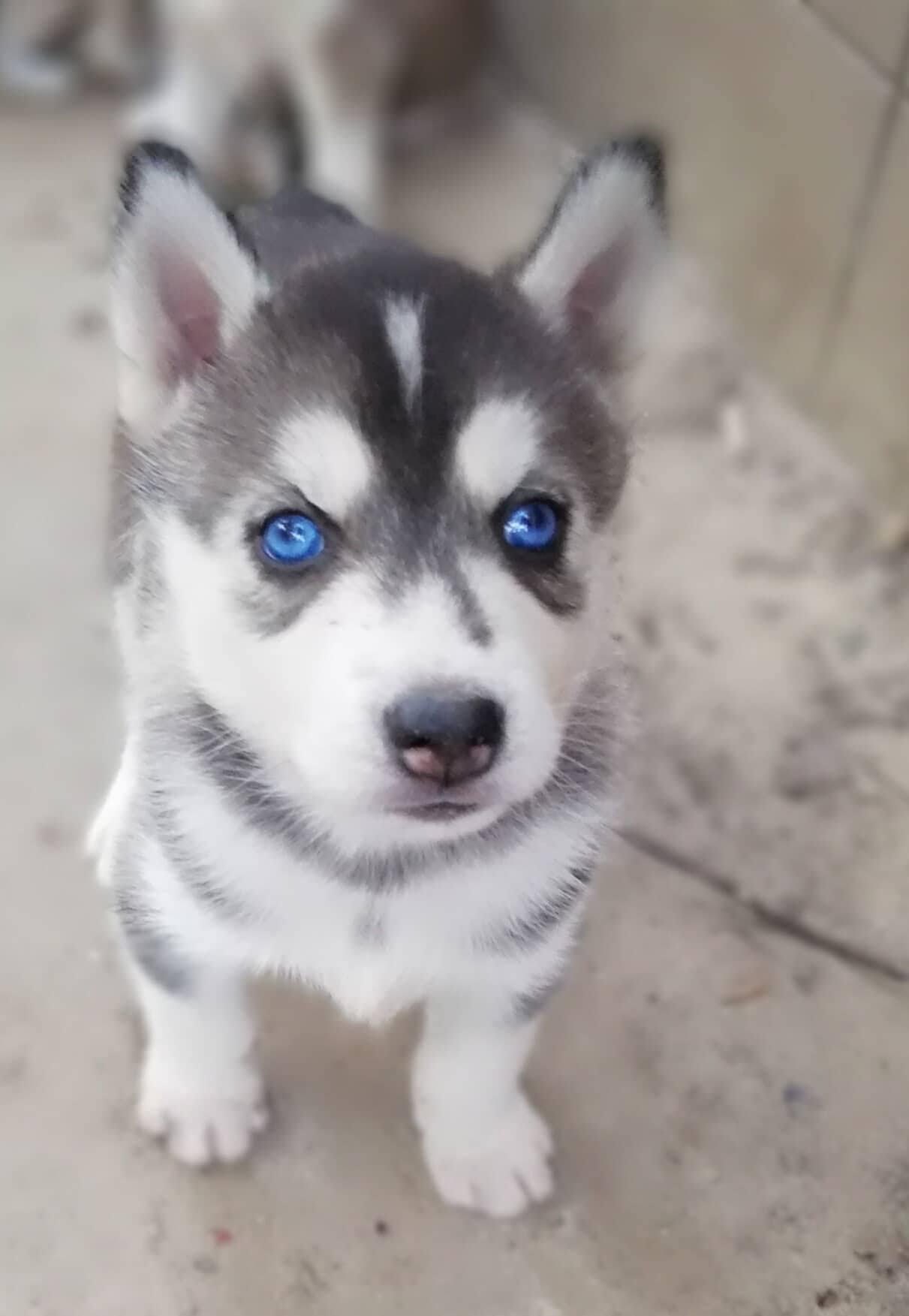 Puppy Dog Husky Dog Ideas