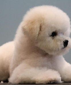 Bichon Puppy 2