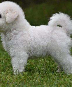 Bichon Puppy 5